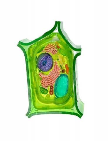 Функции клеточной мембраны и ее отличия от клеточной стенки