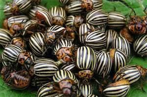 К чему снится много больших жуков?