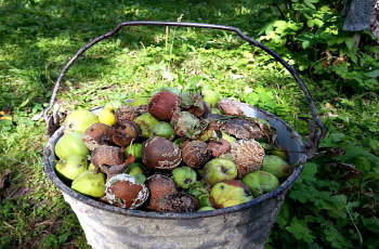 Как избавиться от монилиоза на яблоне?
