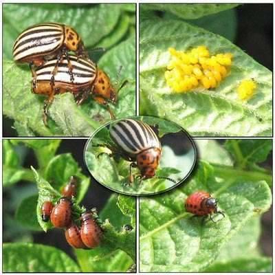 Характеристика колорадского жука: отряд, строение и разновидности