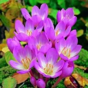 Характеристика растения безвременник веселый