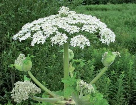 Характеристика растения борщевик: описание, ареал произрастания и свойства