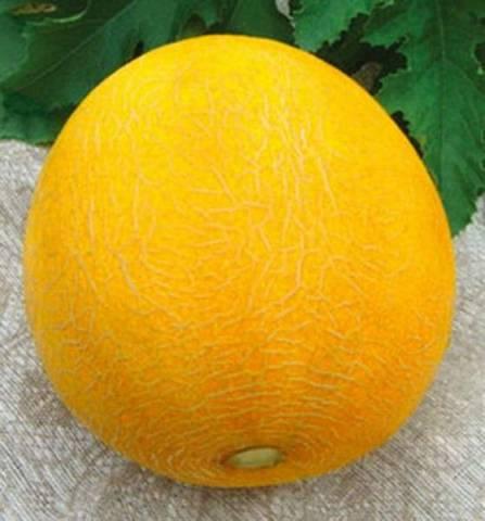 Дыня Колхозница: как выбрать спелый и сочный плод?