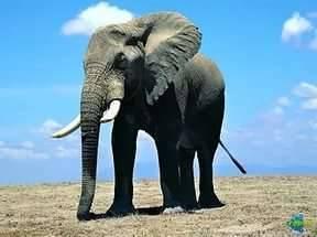 Сколько весит слон: взрослый и новорожденный