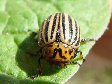 Как бороться с колорадским жуком на баклажанах?