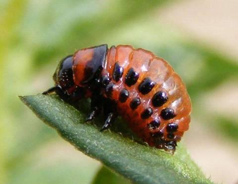 Как избавиться от колорадского жука без химии?