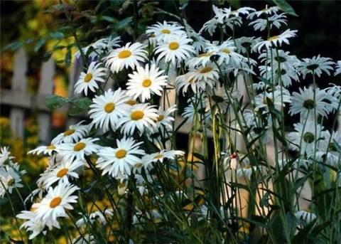 Как вырастить садовую и лекарственную ромашку из семян?