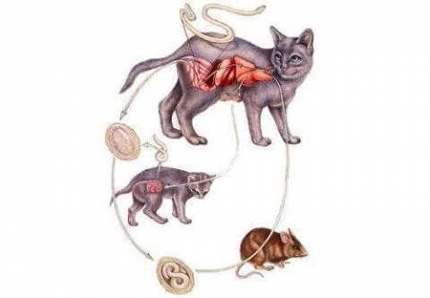 Как вывести у кота глистов в домашних условиях?