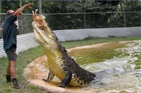 Какая длина крокодила?