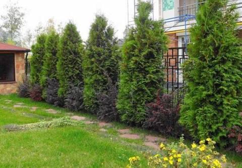 Какие деревья посадить на участке вдоль забора?