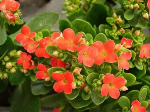 Каланхоэ: уход в домашних условиях, как заставить цвести