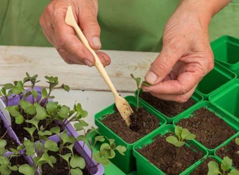 Когда посадить цветную капусту на рассаду?
