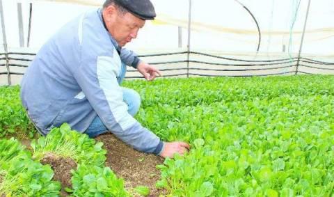 Когда засевать капусту в теплицу на рассаду?