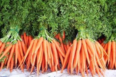 Сажаем на даче морковь: какой сорт выбрать?