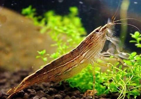 Виды аквариумных креветок