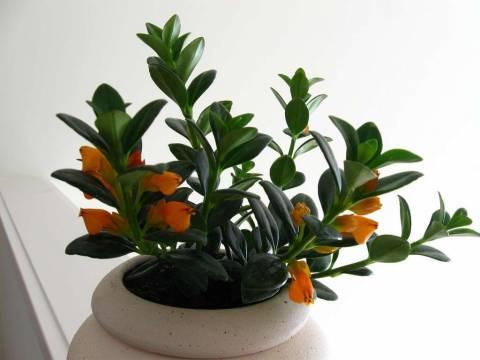 Нематантус (Грегариус или Золотая рыбка): уход и выращивание в домашних условиях