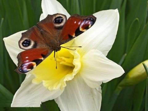 Описание цветка нарцисса