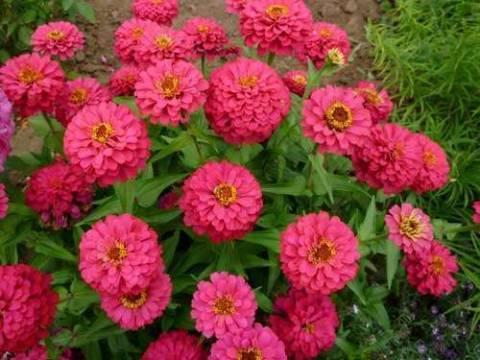 Цинния: разновидности растения