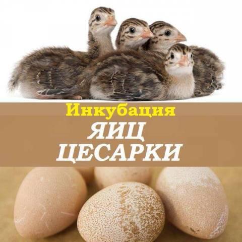 Особенности инкубации яиц цесарки