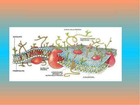 Особенности строения клеточной мембраны