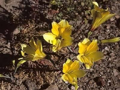 Особенности выращивания и ухода альстромерии