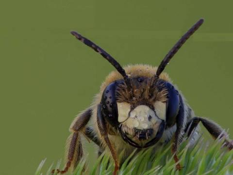 Партеногенез у насекомых и его характеристика