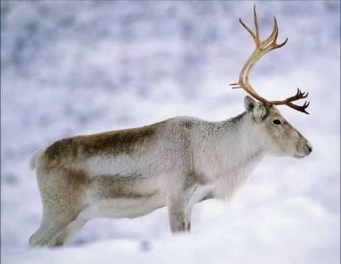 Чем северный олень питается, какие рога носит и как меняет цвет глаз в арктических широтах?