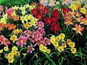 Сорта и разновидности лилейника