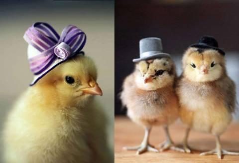 Способы отличить среди цыплят куриц от петухов