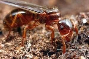 Как избавиться от домашних муравьев?