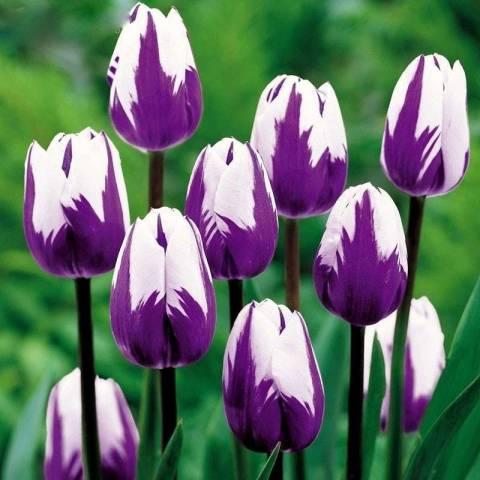 Самые красивые тюльпаны сорта