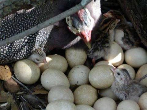 В каком возрасте и сколько цесарка несет яйца?