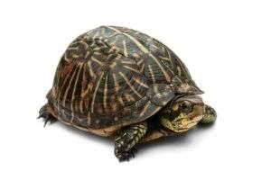 Максимальная скорость черепахи.
