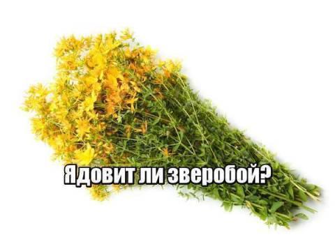 Зверобой ядовитое растение или нет?