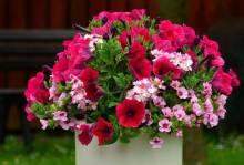 Посадка рассады петунии весной: как вырастить цветник в домашних условиях?