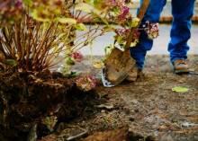 Что делать с гортензией осенью?