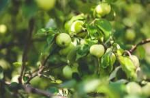 Полезное для садоводов: новые сорта яблок, которые стоит для себя открыть