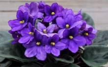 Узамбарская фиалка: все о выращивании и уходе за растением