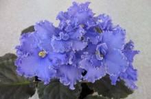 Узамбарская фиалка: что за цветок и стоит ли его заводить дома?