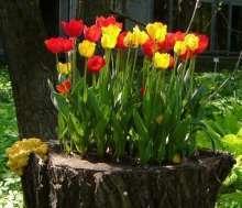 Тюльпаны: что символизируют, как выращивать на даче?
