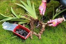 Не так и просто: посадки ирисов весной и ее особенности