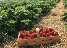 Как выращивать ремонтантную клубнику: инструкция от посадки до сбора урожая