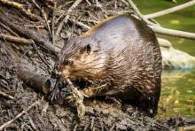 Особенности животного мира: почему бобры строят плотины?