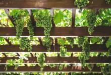 Посадка винограда черенками весной: полезное для дачников