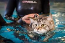 Как научить плавать кошку?