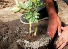 Рискованно, но возможно: особенности посадки пионов весной