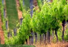 Посадка винограда весной саженцами, как залог хорошего урожая