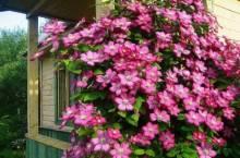 Посадка клематисов весной: как облагородить участок красивым и обильным цветением?