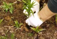 Посадка лилий весной: как это делать и что учесть?