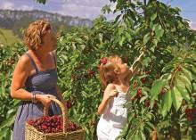 Советы начинающим садоводам: куда сажать вишню?